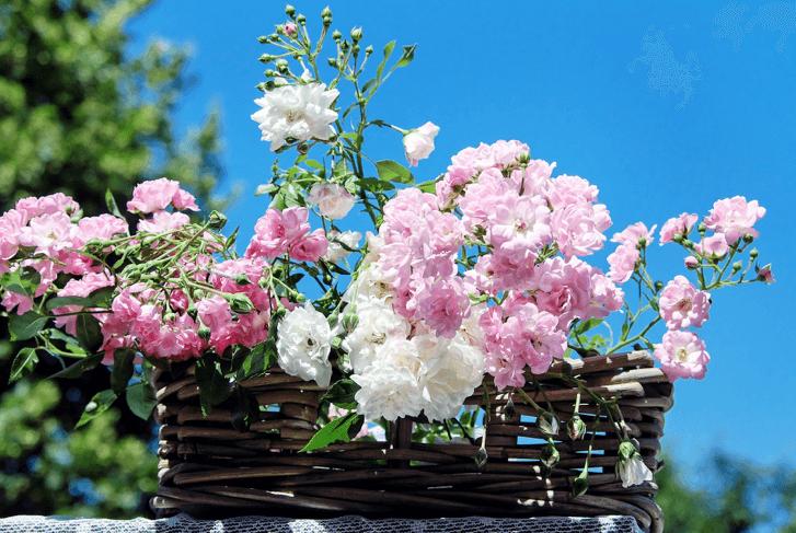 mm_roses-1477992_1920