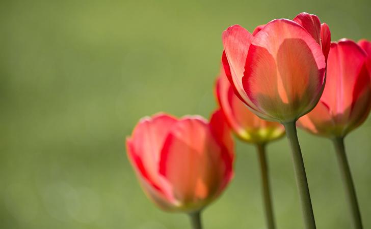 tulips-1477285_1280 2