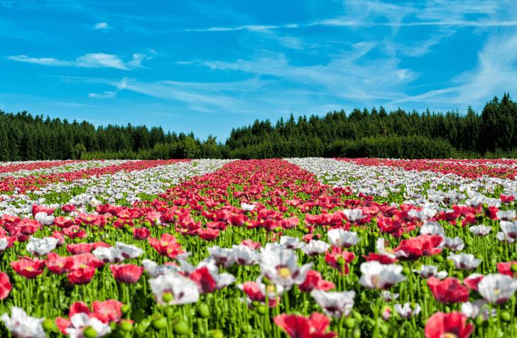 mm_poppy-field-of-poppies_20160826