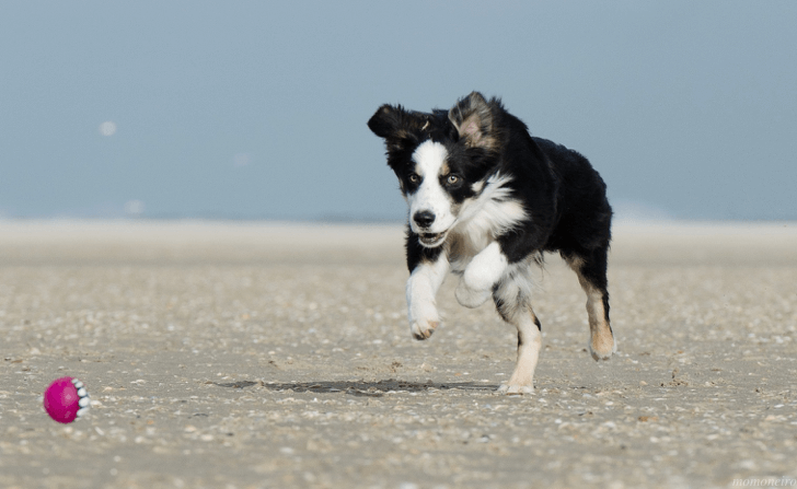 momone_border-collie-674147_1920