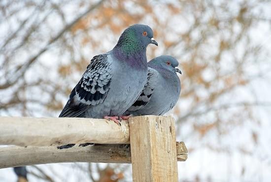 pigeons-289063_1280