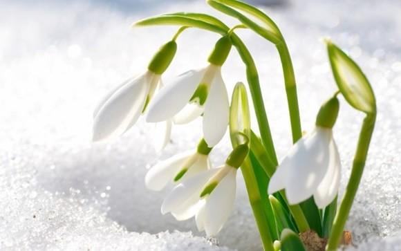 Snowdrops-Flower-in-Snow