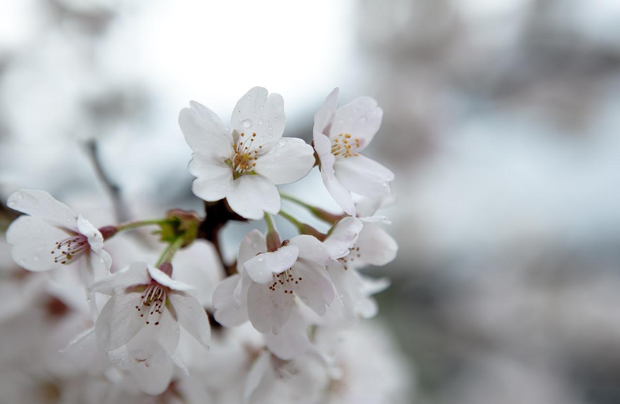 cherry-blossom-20150222