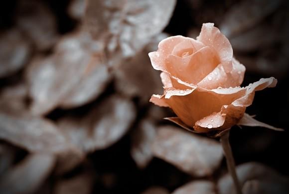 rose-379300_1280-min