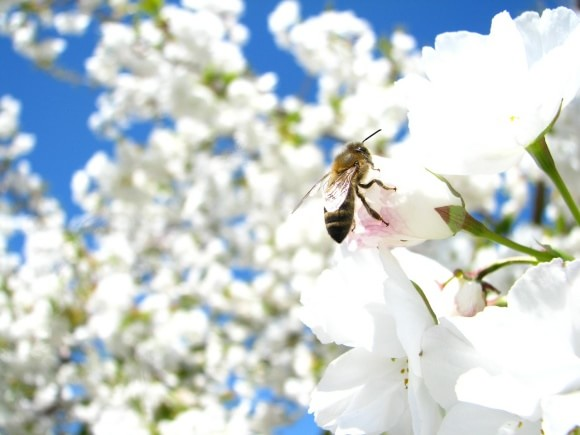 cherry-blossom-176283_1280-min