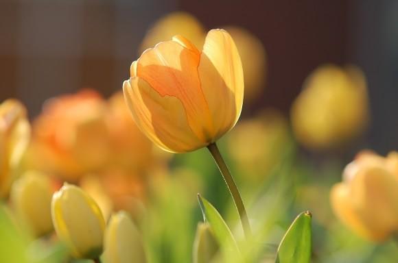 tulip-690320_1280-min