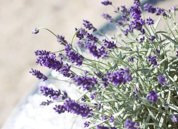 lavender-524505_1280 (1)