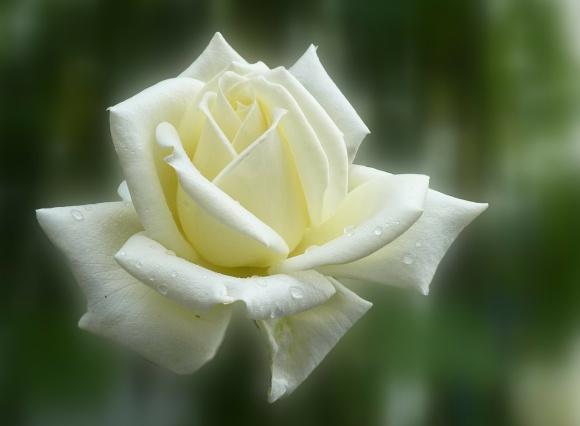 rose-140446_1280_rose