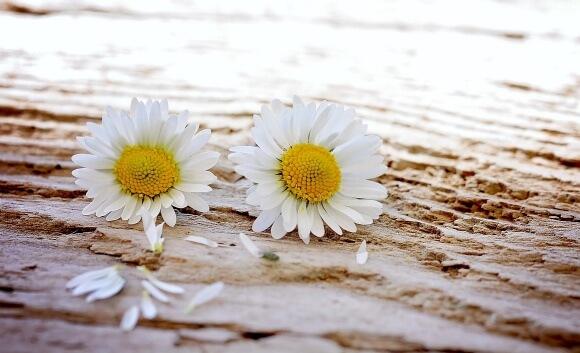 daisy-747320_1280