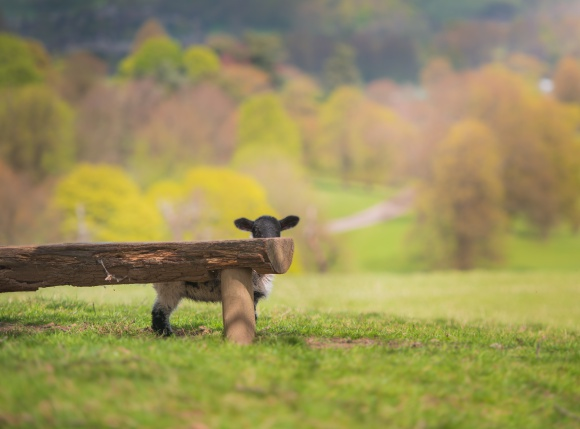 Cut Black Sheep Hiding In Countryside