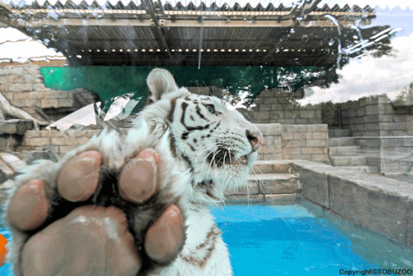 tiger_20150810
