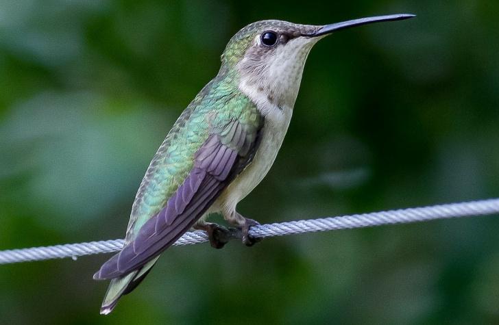 hummingbird-164632_1280