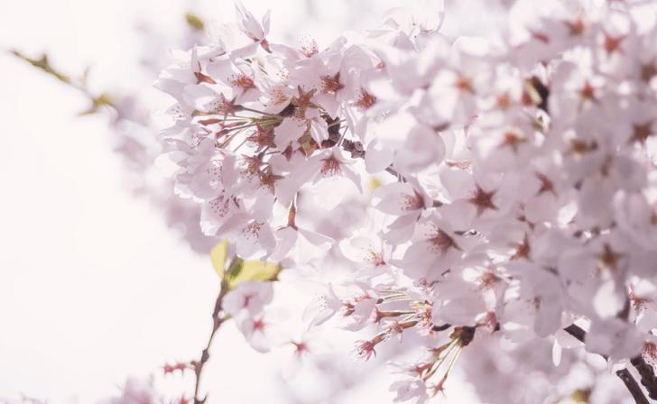 mo_MARI85_awaihikaritopinksakura20120505_TP_V