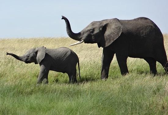female-elephant-341983_640