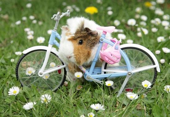 guinea-pig-470697_1280