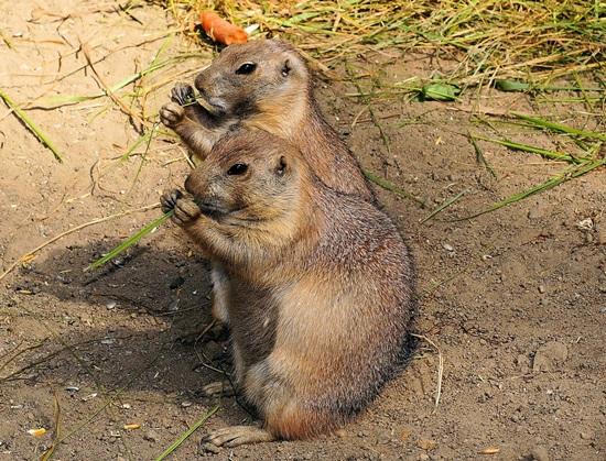 marmots-412892_1280